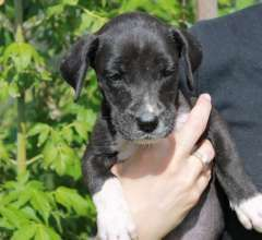 Purebred Great Dane Puppies Price Reduced Great Dane Puppies