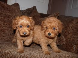 RED F1b Cockapoo puppies PRA tested parents RARE | Cute