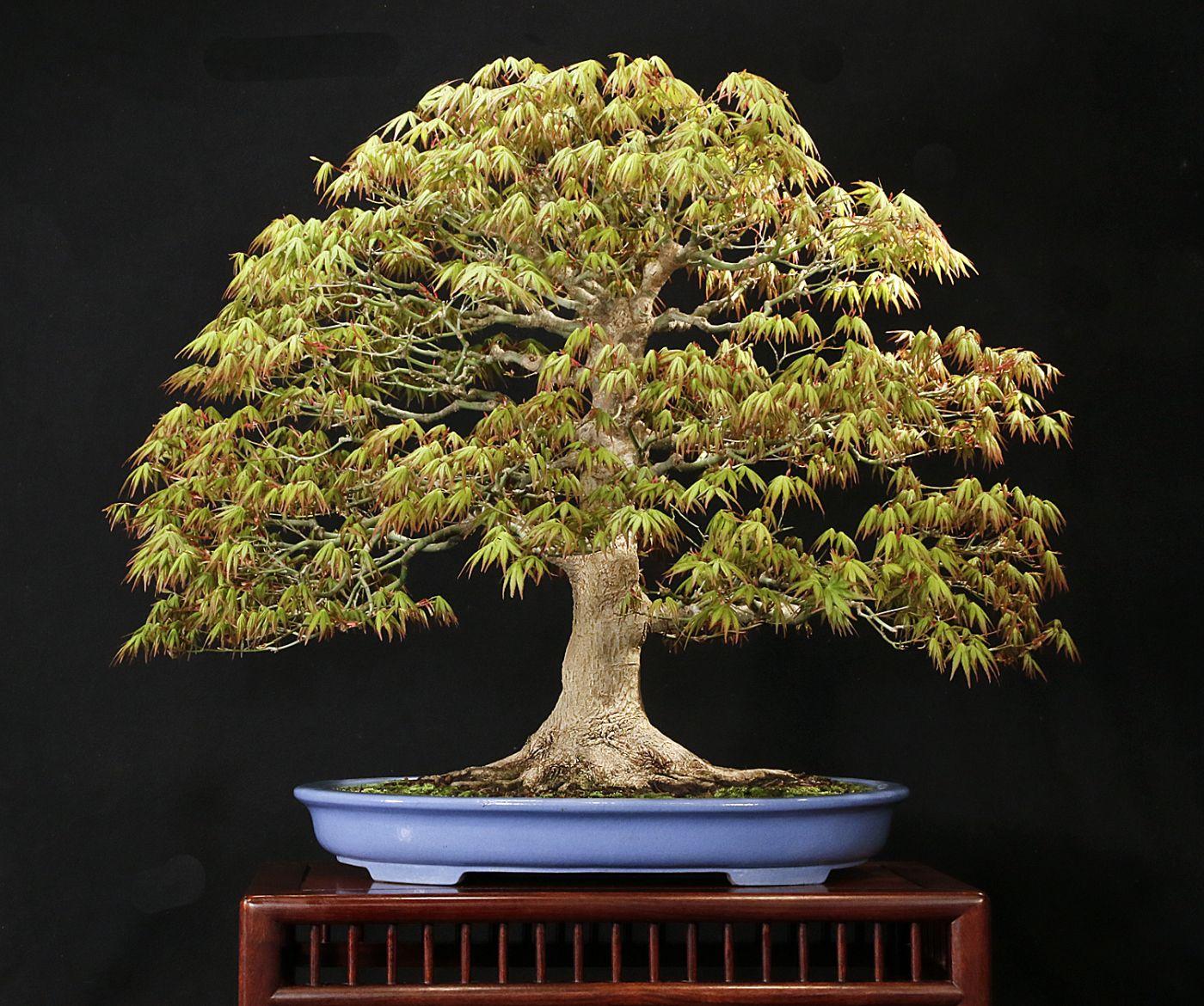 Japanese Maple Bonsai Und Laub