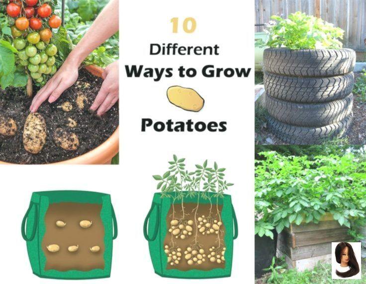 potatoes 10 Ways to Grow Potatoes        Check