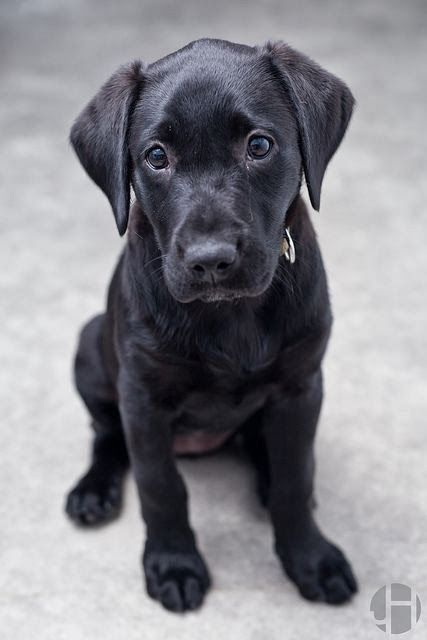 Cute Pictures Of Puppy Black Labs