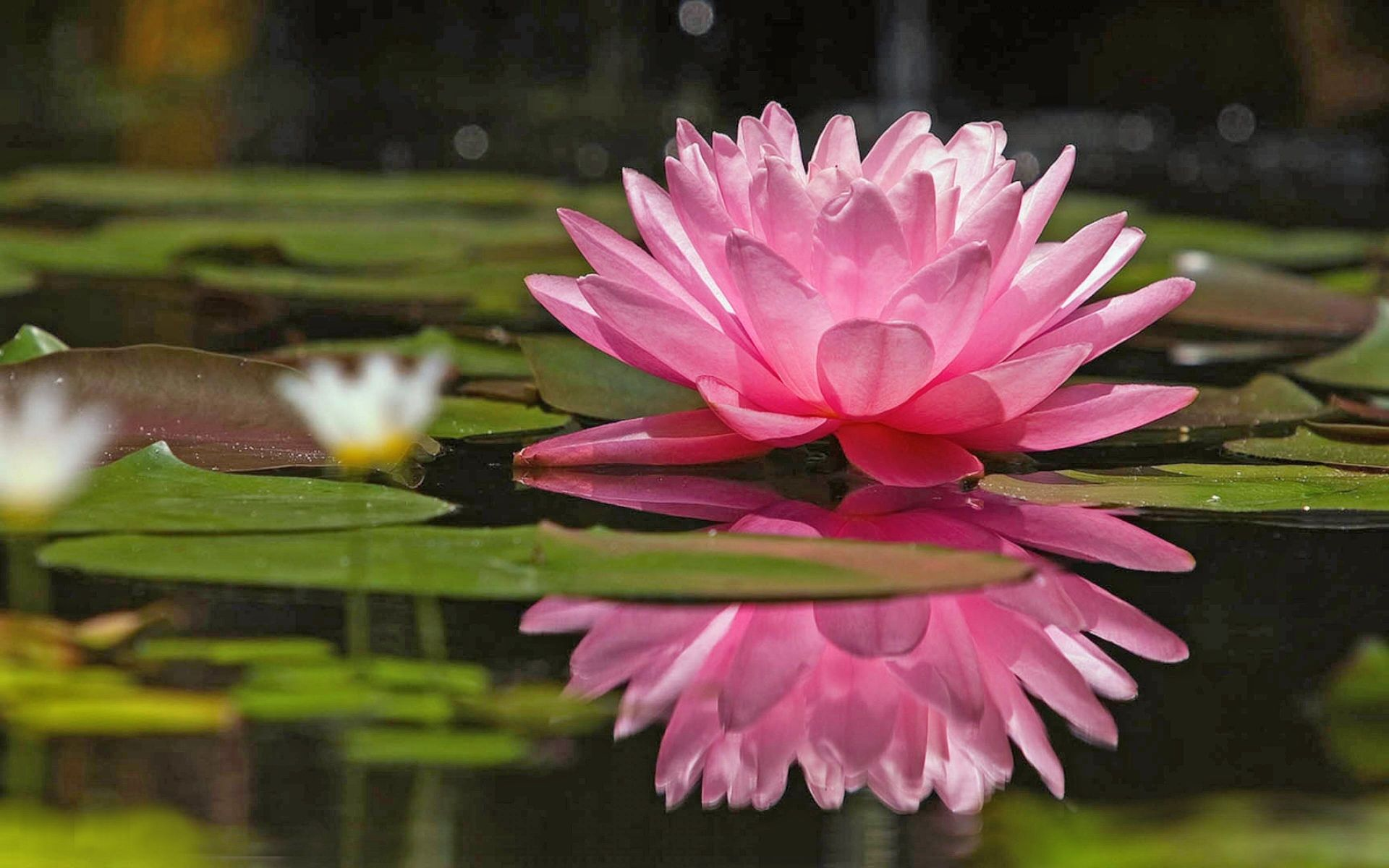 Earth water lily flower lily pink reflection pondfloater wallpaper earth water lily flower lily pink reflection pondfloater wallpaper dhlflorist Images