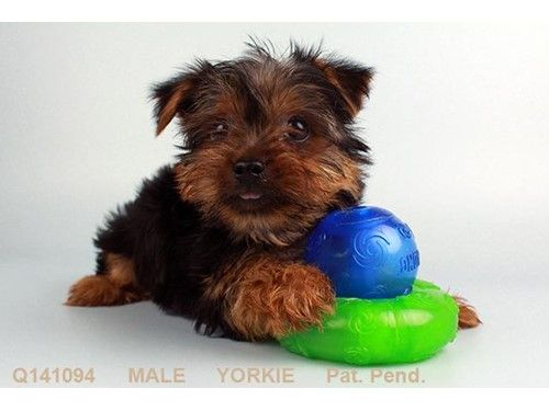 Dogs And Puppies For Sale Petland San Antonio Texas Puppies