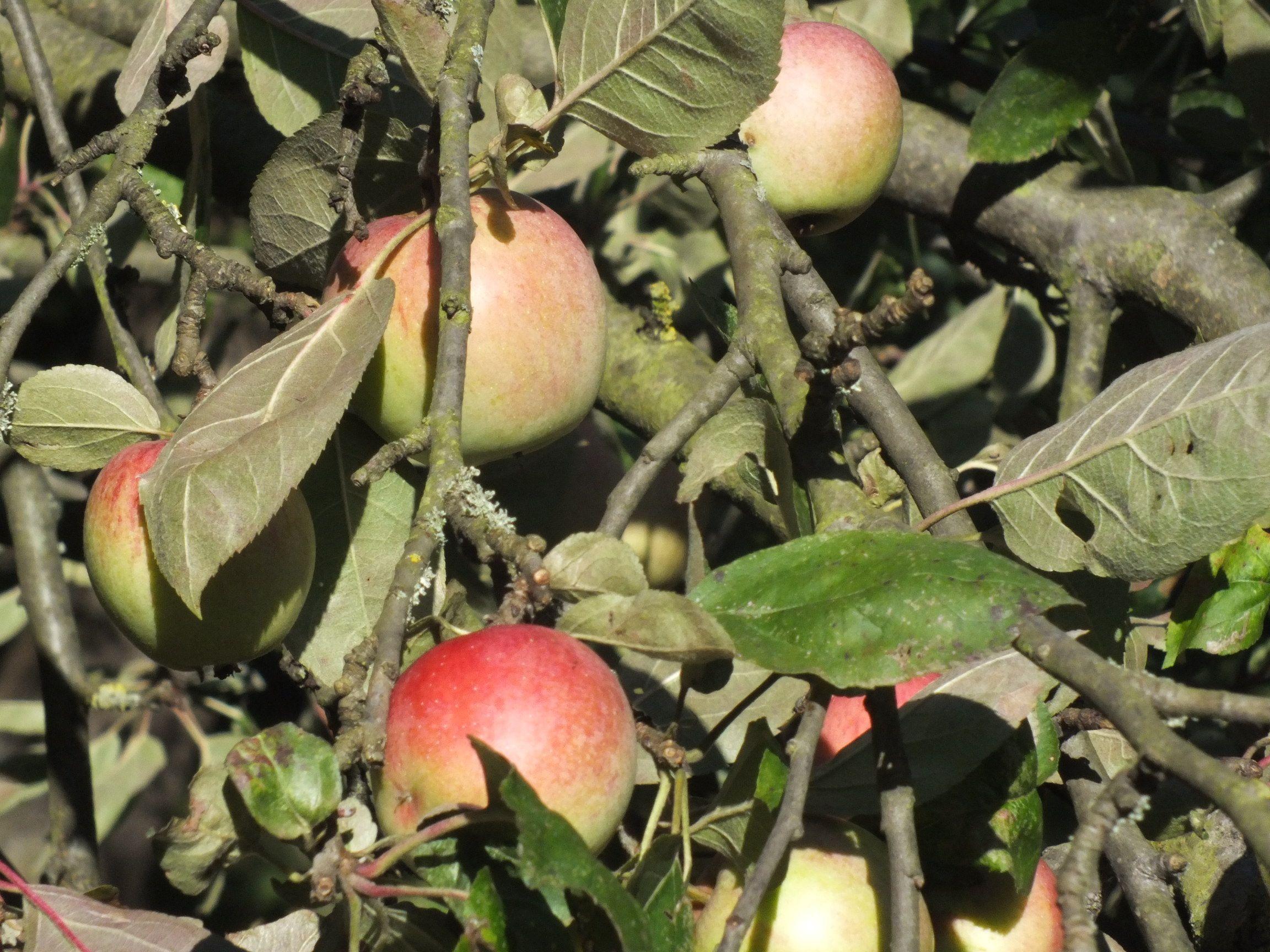 Herbstäfpfel