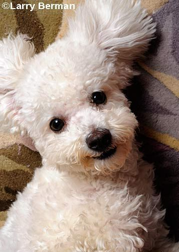 Pictures Of A Cute Fluffy Puppy Dog Bichon Dog Cute Puppies