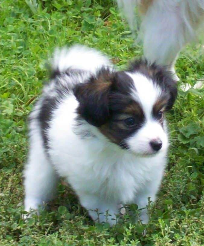 Image result for Papillon dog Papillon dog, Best dogs