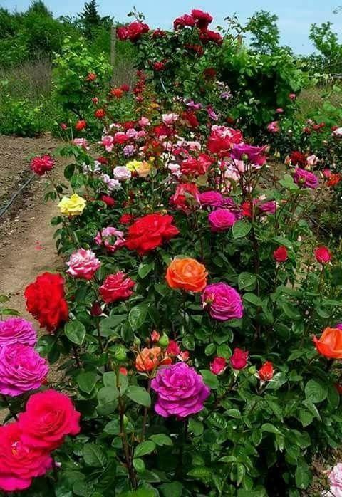 Pin de edna aduncion en Roses Pinterest Flores, Flor y Rosas