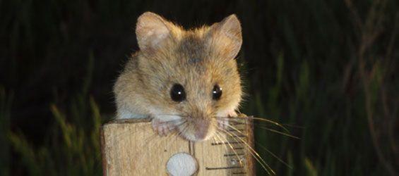 Salt Marsh Harvest Mouse   Salt marsh harvest mouse  Photo: Howard Shellhammer  STATUS  Endangered.