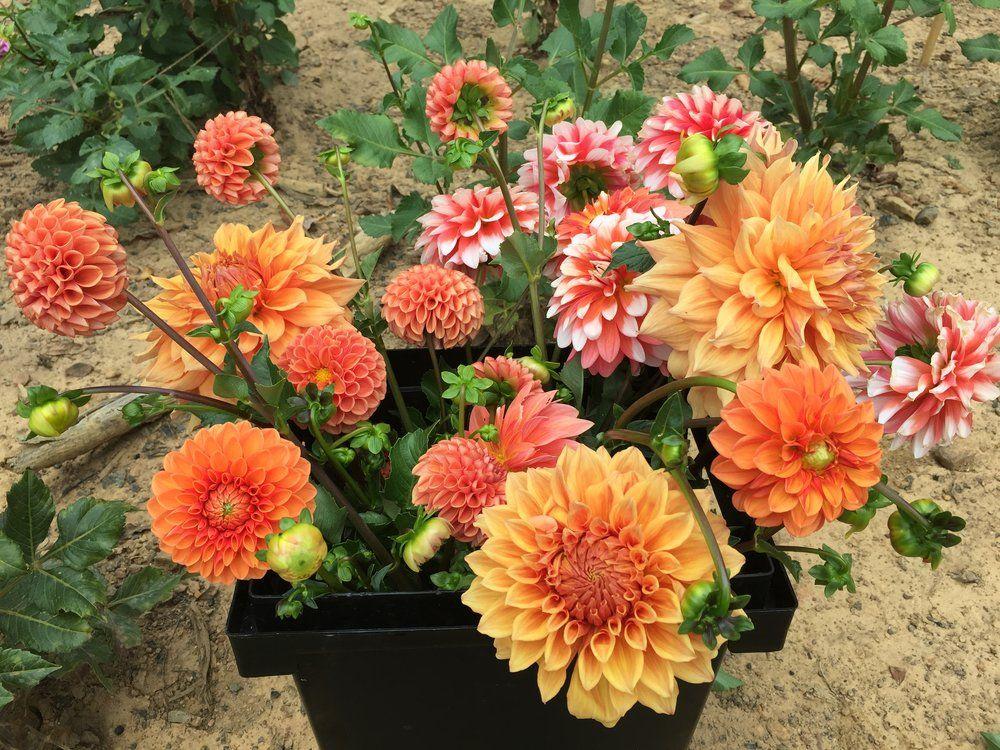 Dahlias 101 A Beginner's Growing Guide in 2020 Flower