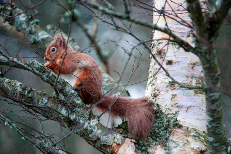 Spynie Squirrel