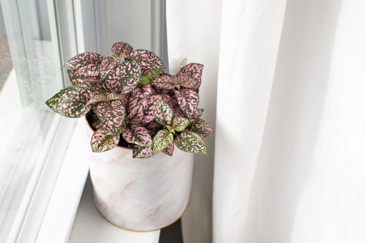 Photo of Discover How to Grow Polka Dot Plants Indoors