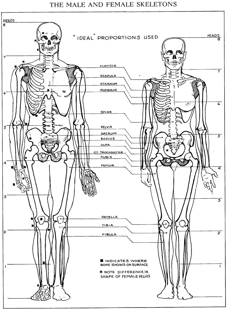 image result for male and female skeleton proportions | human, Skeleton