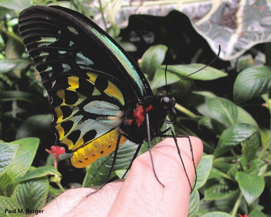 "Paul M. Berger on Twitter: ""#ButterflyOfTheDay! Green Birdwing #AMNH https://t.co/9TzO442Weg"""