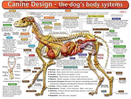 Basic dog anatomy