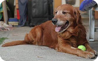 Los Angeles Ca Golden Retriever Meet Ozzy A Dog For Adoption