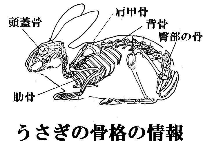 動物 ペット の骨格についての情報 アメリカンペットメモリアル 動物 動物解剖学 うさぎ デザイン