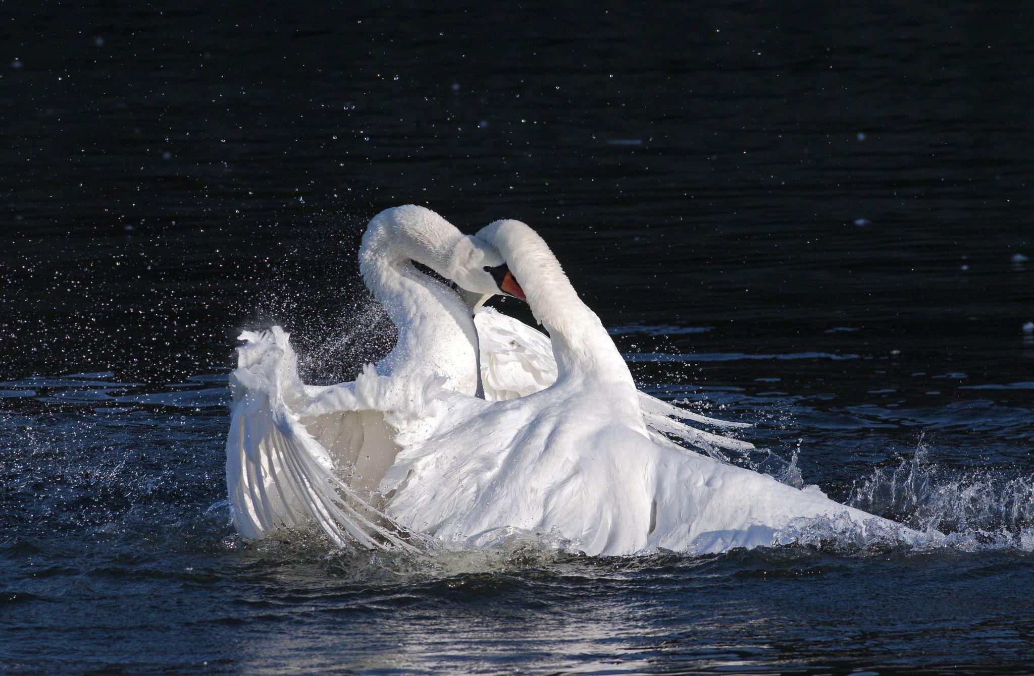 Swans in fight by Carl Søndergaard on 500px Swan, Pet
