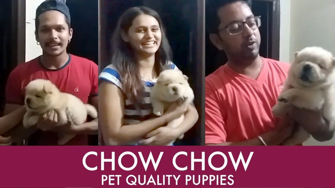 Cute Chow Chow Puppy In India Customer Feedback Chow Chow