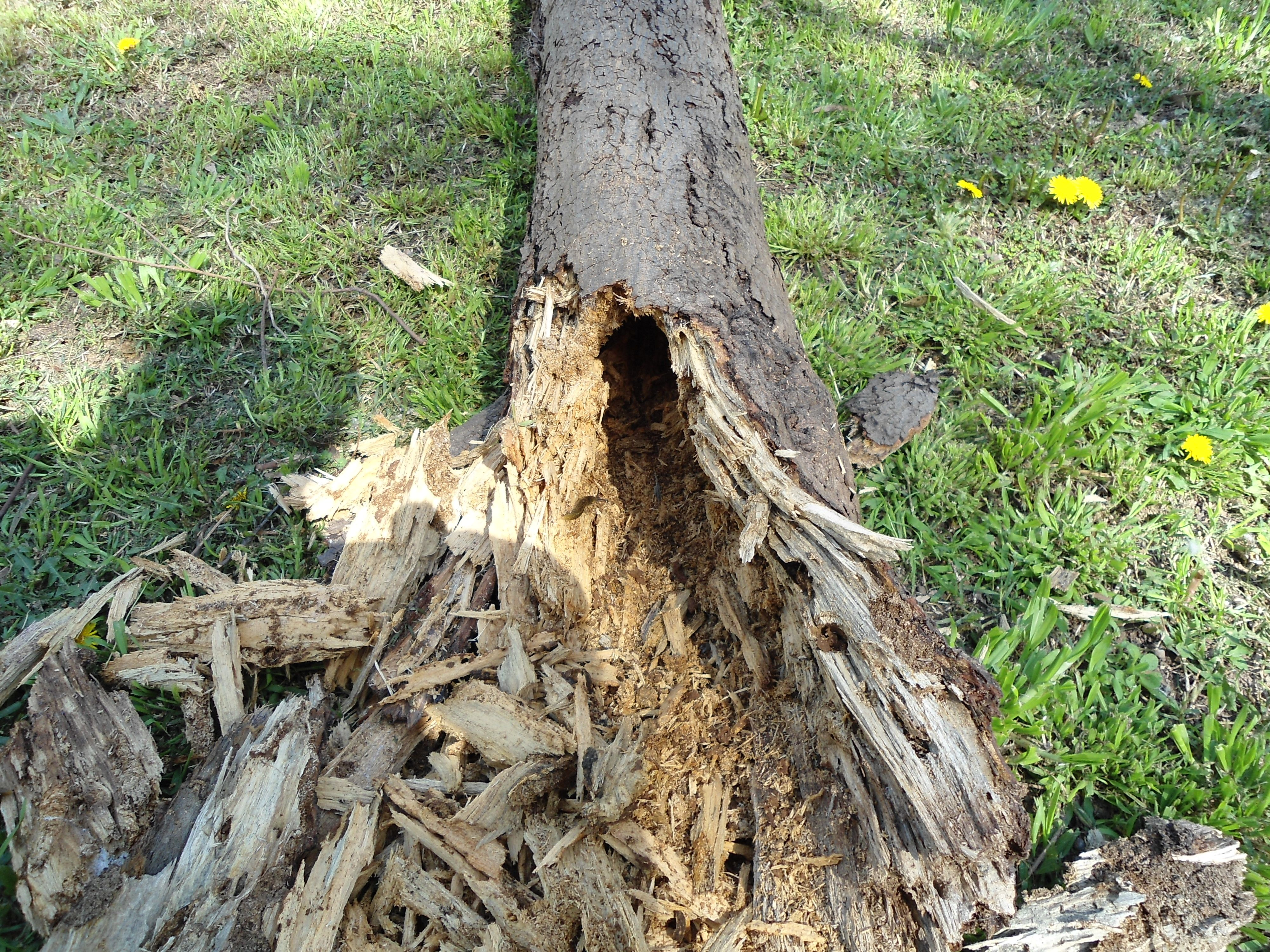 Image result for termite damage tree