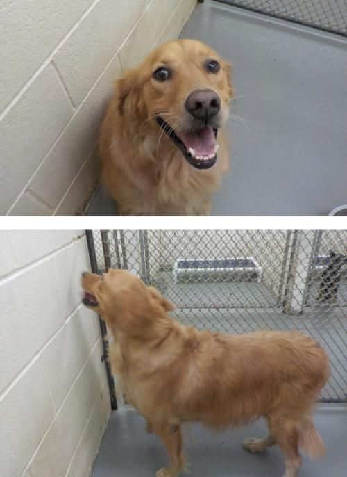 This is Aveda - 5 yrs. She is spayed, current on vaccinations, potty trained, good with dogs. Texas Sporting Breed Rescue, Denton, TX. - http://www.retrieveafriend.org/animals/detail?AnimalID=9210449 - https://www.facebook.com/TexasSportingBreedRescue - http://www.adoptapet.com/pet/13975031-denton-texas-golden-retriever