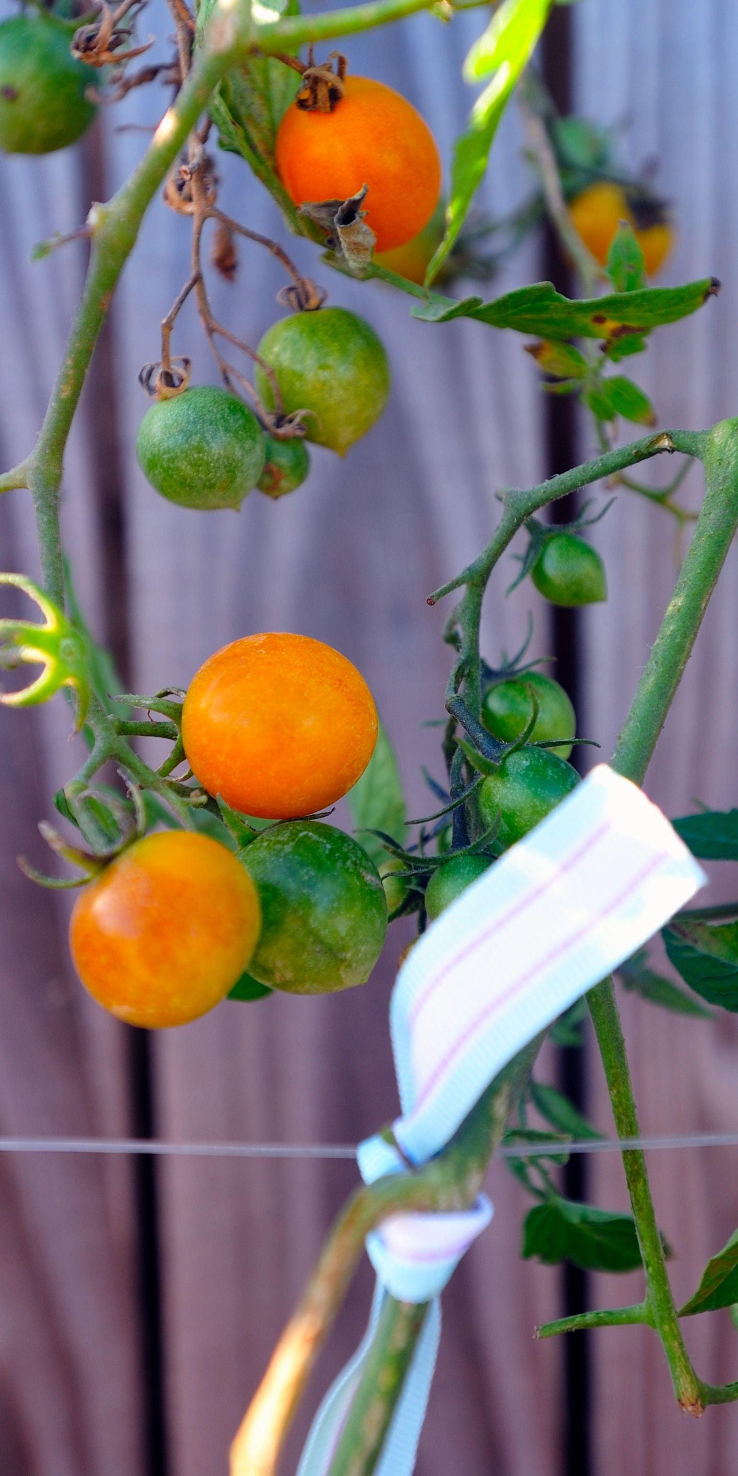 Sweet, yummy delicious sun sugar tomatoes. | Backyard ...