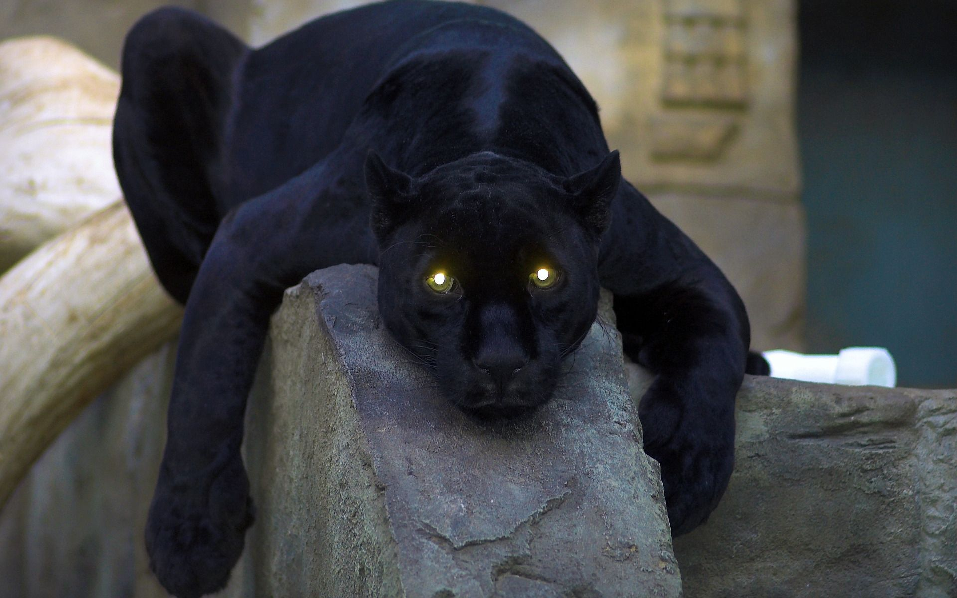 Animal Facts Pictures 2013: Panther Aanimal Facts | by blood a ...