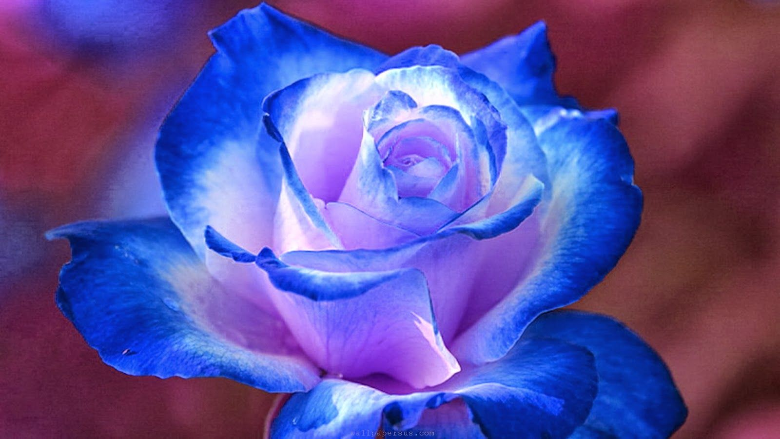 Hd Wallpapers Desktop Blue Flower Hd Wallpapers Blue Flower Wallpaper Blue Roses Wallpaper Rose Flower Pictures