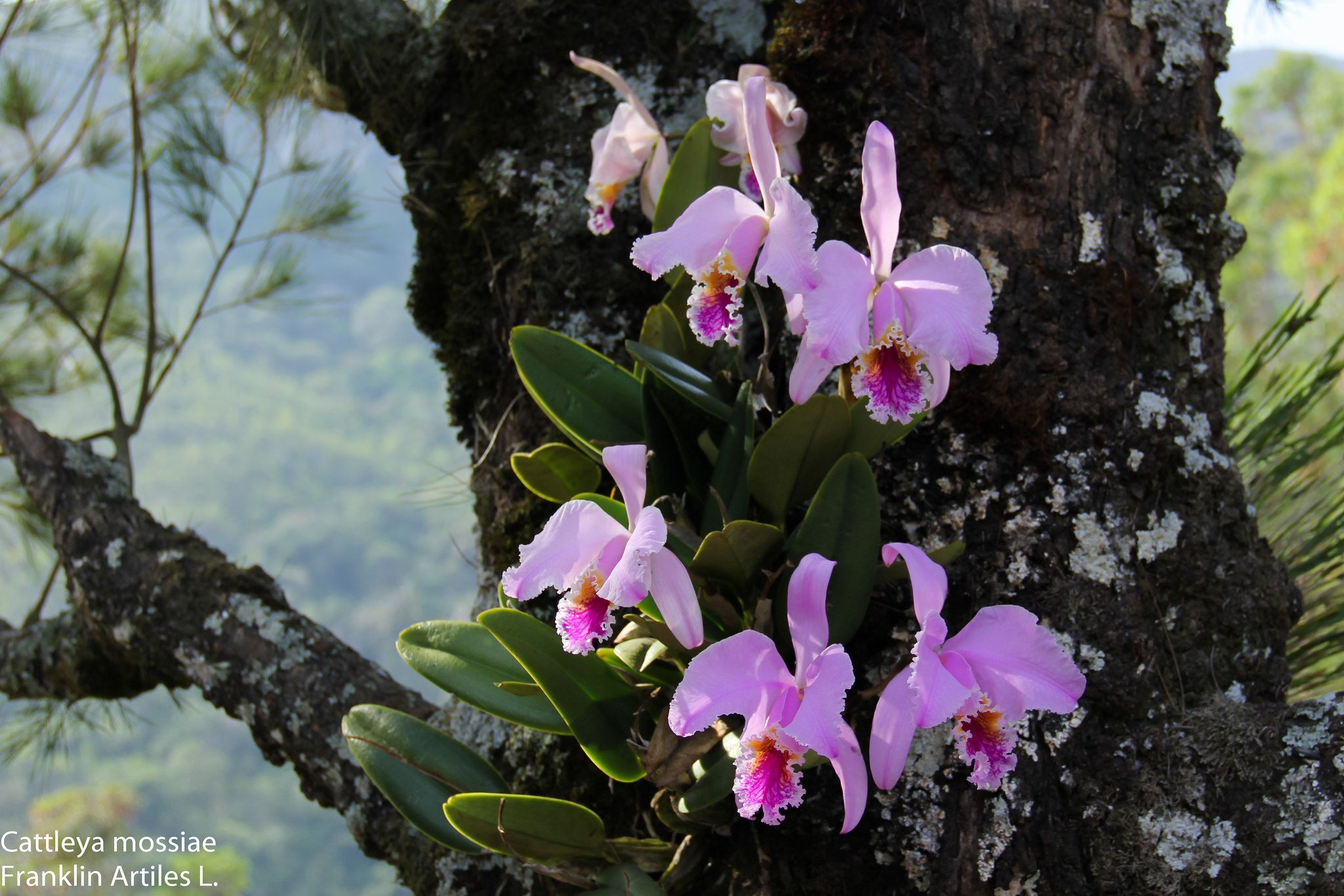 Cattleya Mossiae In Situ Orchid Plant Care Orchid Plants Cattleya