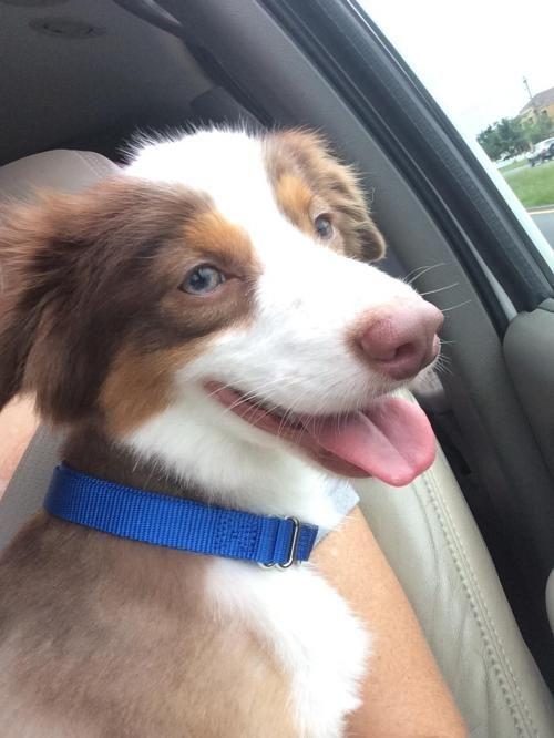 Adopt Russell on Dogs Australian shepherd dogs, Mini