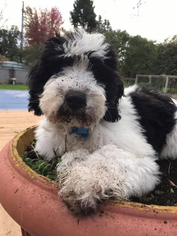 Wonderful Springerdoodle pups for sale  | Springerdoodles  The Best