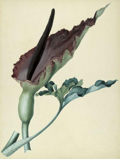 Franz Blaschek (1787-1849) - Study of Dracunculus vulgaris, watercolor and gouache, 58,5