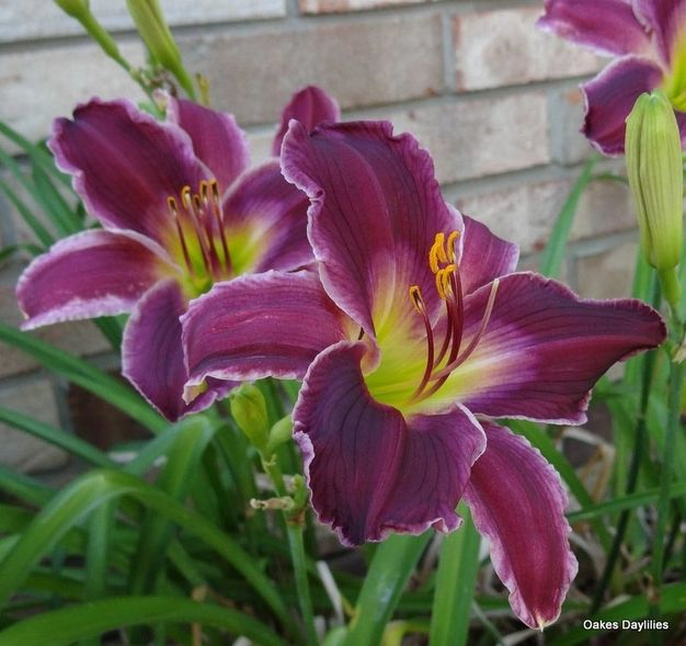 INDIAN GIVER - Oakes Daylilies
