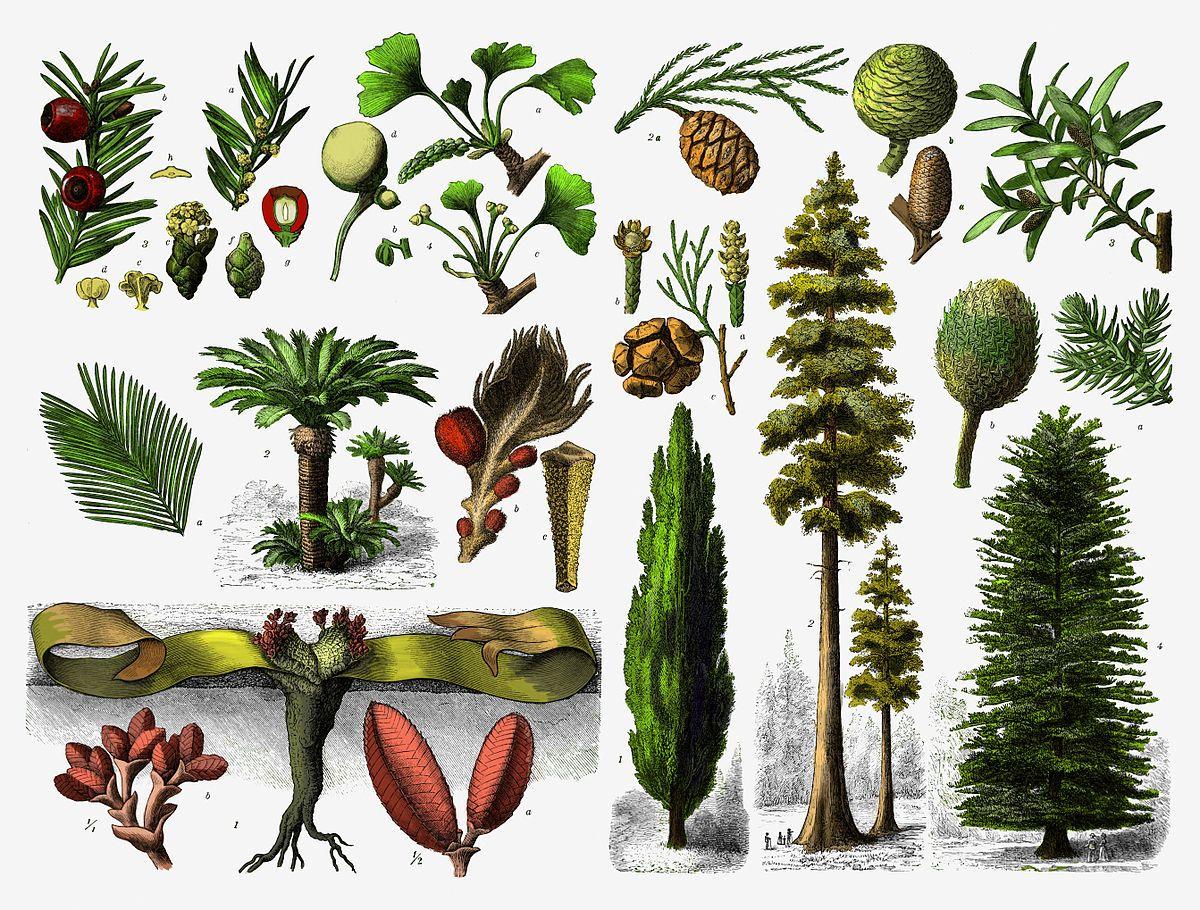 Gymnosperm Wikipedia Gymnosperm Plants Different Plants