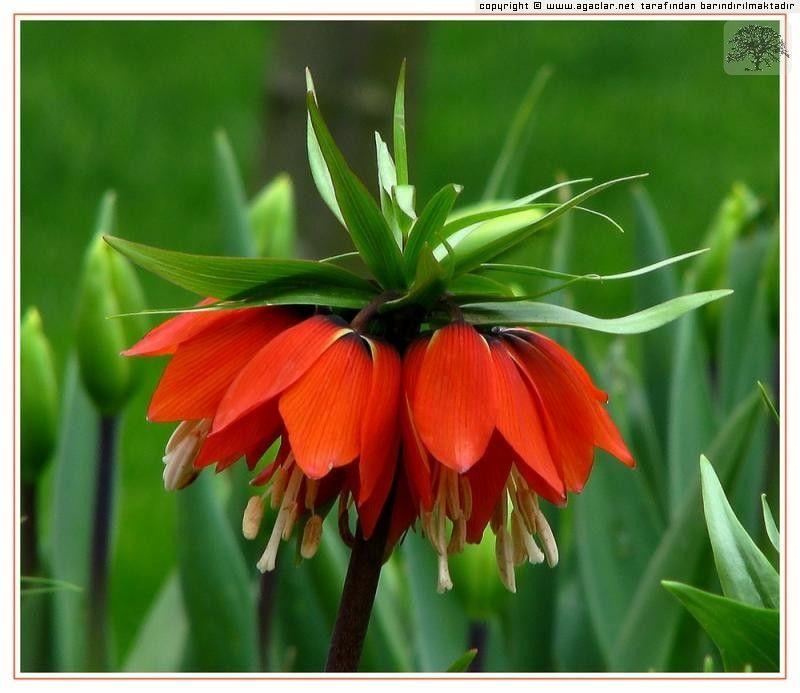 Fritillaria Imperialis L Aglayan Gelin Ters Lale Bitki Egzotik Cicekler Laleler