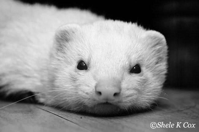 One of our rescue ferrets, Chip.