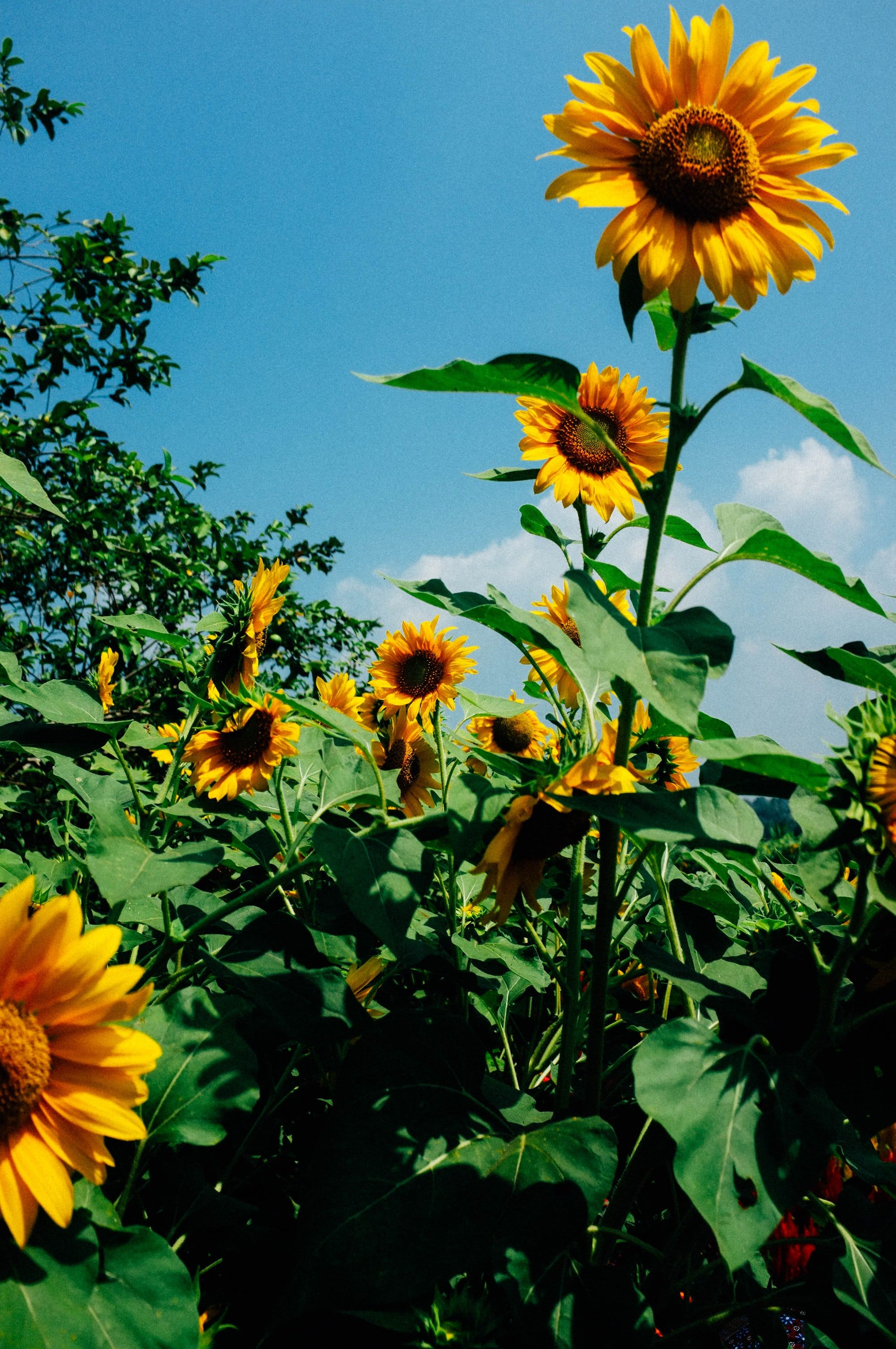 Thanks To Kilarov Zaneit For Making This Photo Available Freely On Unsplash In 2020 Sunflower Pictures Sunflower Fields Sunflower