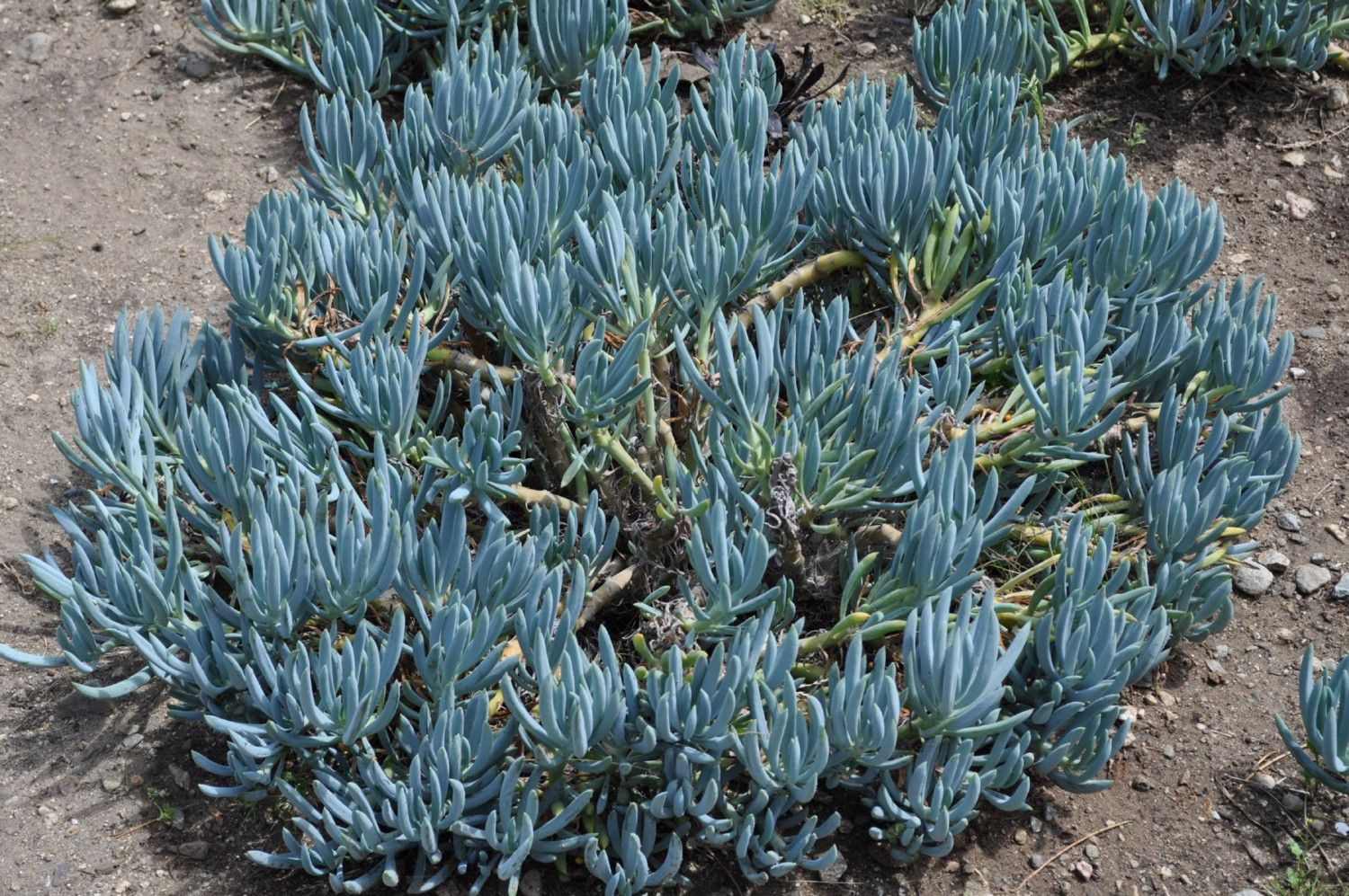 Blue chalk sticks plant - Senecio Mandraliscae Blue Chalk Sticks Are A Succulent Plant With Elongated Blue