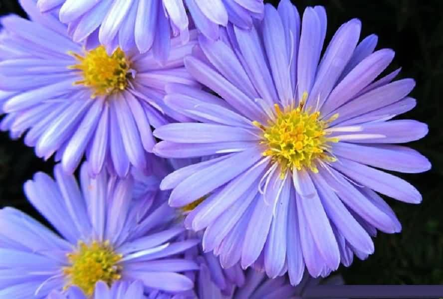 Awesome Purple Aster Flower Pic Aster Flower Birth Month Flowers Organic Gardening