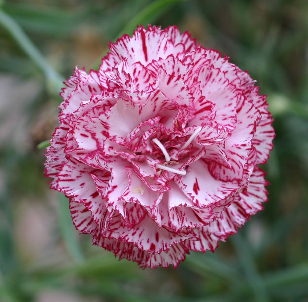 Carnation How To Grow Care Growing Carnations Carnation Flower Unusual Flowers