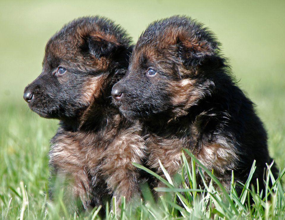 3 Week Old Long Coat German Shepherd Puppies At Grunwald Haus German Shepherd Puppies Dogs German Shepherd Dogs