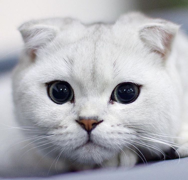 Silver Tabby Scottish Fold Cat