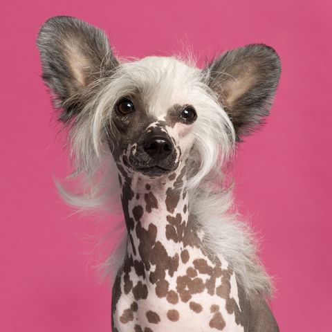 Hairless Chinese Crested.  Now thats a real pink dog. Hairless dog with hair only on head, feet and tail.