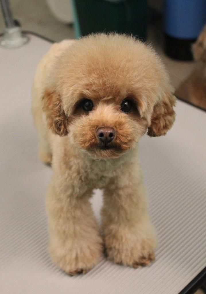 Dog Haircuts Poodle Grooming Poodle