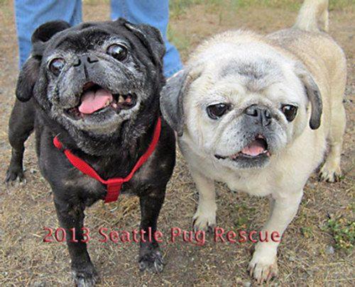 Bonnie Clyde Pug Dog Bellevue Wa Pets Pugs For Sale