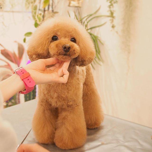 ドッグサロンv I D 表参道 On Instagram トイプードル ティーカッププードル トリミング カット トリミングサロン 東京 表参道 渋谷 トイプードル プードル 可愛い犬