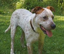 Bull Arab Wikipedia The Free Encyclopedia Bull Arab Dog Dogs Australian Dog Breeds