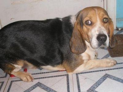 Beagle Hound Photo Beagle Basset Hound Mix Doggyspace Com