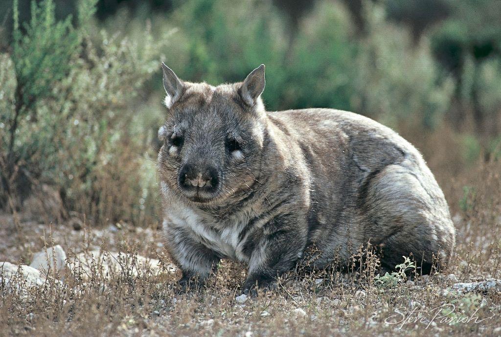 Southern Hairynosed Wombat (Lasiorhinus latifrons) Rare