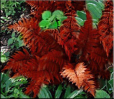 Evergreen Native Ferns
