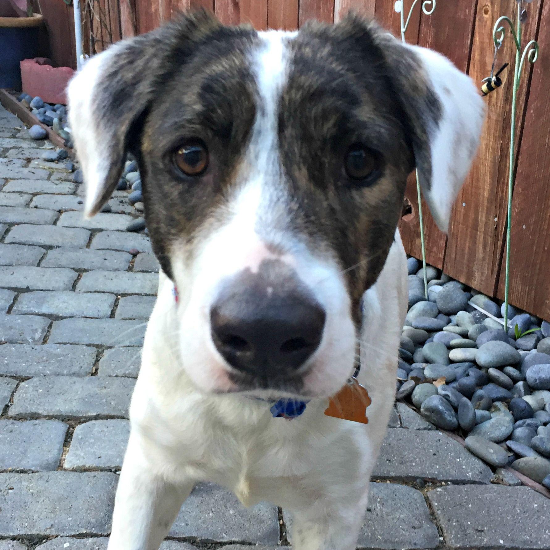 Sheprador dog for Adoption in Sunnyvale, CA. ADN440716 on